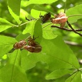 cicada husks in leaves