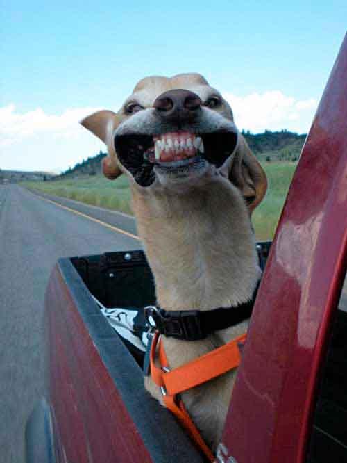 dog in pickup